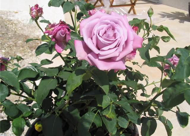 Оптимальным местом для посадки розы Шарль де Голль являются солнечные участки, не продуваемые северными холодными ветрами